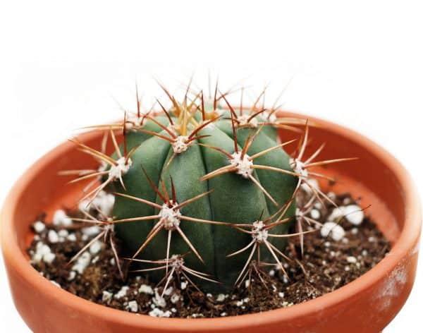 Cactus Neoporteria
