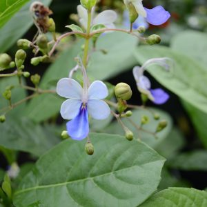 Clerodendron Ugadensis