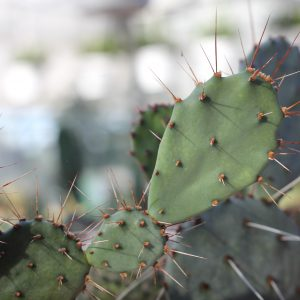 Opuntia Gossliniana